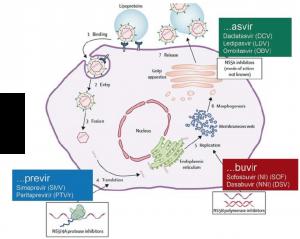 схема действия лекарств на вирус гепатита С